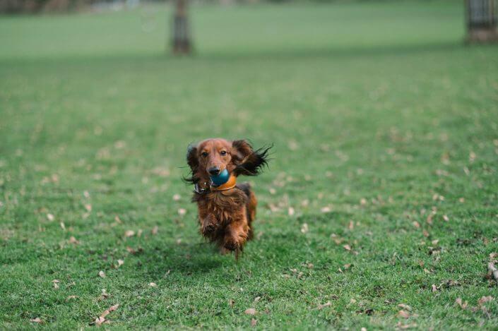 Dachshund Henry - Urlaub mit Hund in Köln